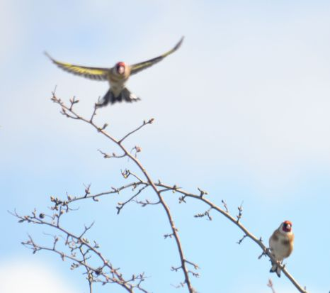 DSC_5936Goldfinches