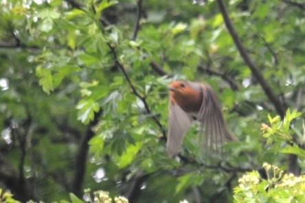 Robin doin' the buggerin' off