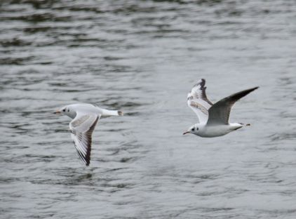Gulls over the pond