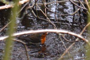 Bathing robin