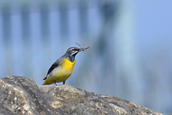 Grey wagtail with flies