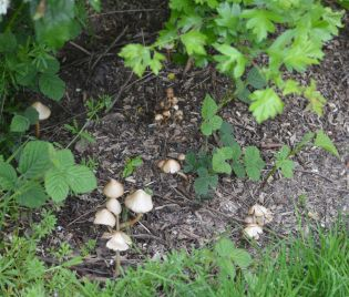 'shrooms on wood chippings