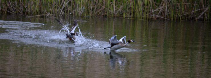 Grebe chasing an interloper