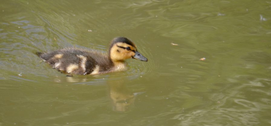 DSC_1188Another duckling sneaks in to the camera
