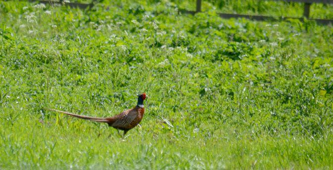 Pheasant on a paddock