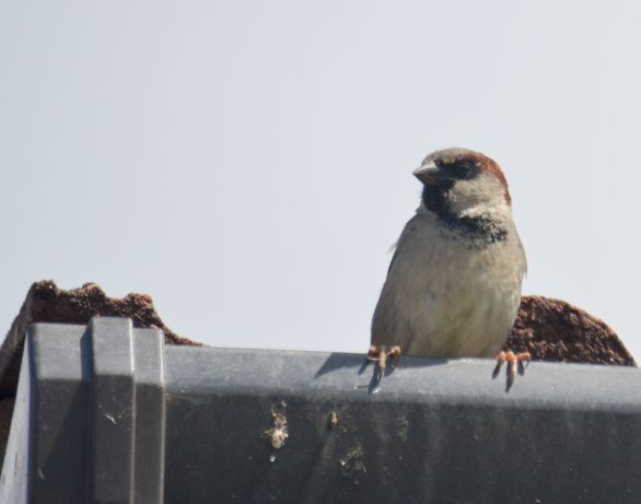 Sparrow in a roof gutter