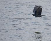 Crow over the pond