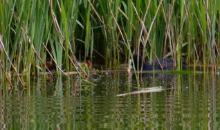 Coot and cootlets