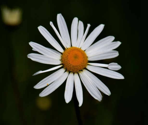Moonpenny (oxeye daisy)