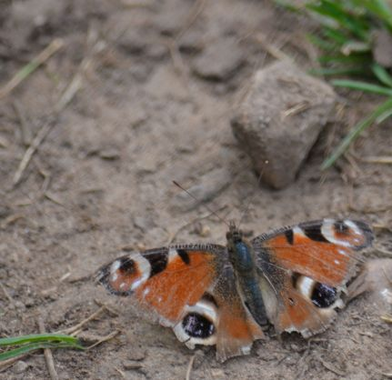 Very tatty peacock butterfly