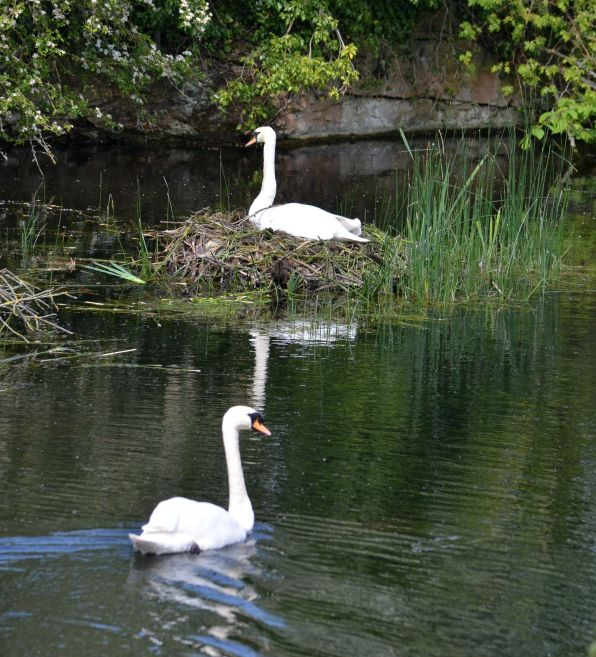 Two swans at Lady Lee