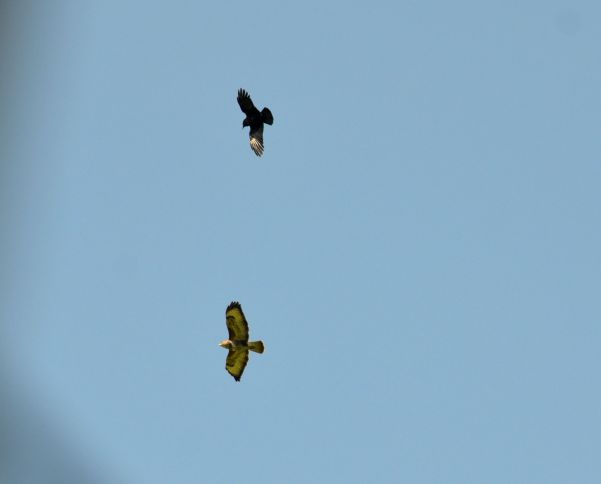 Crow v buzzard