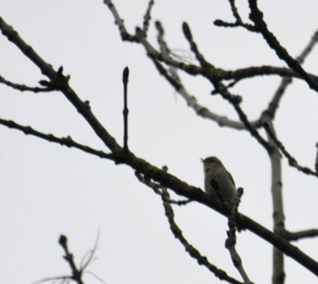 """Chiffchaff """"tchwee tchwaa""""-ing up above"""