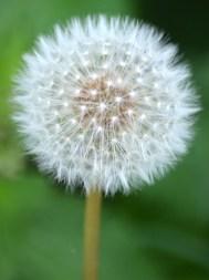 Perfect sphere of a dandelion clock