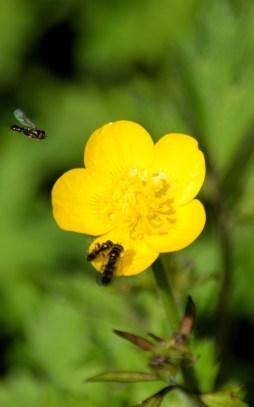 Mini bugs on a buttercup