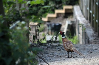 Cock pheasant on the footpath