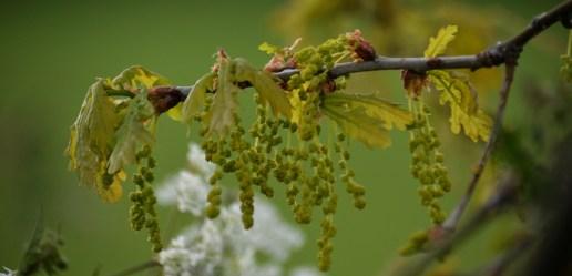 Male oak flowers