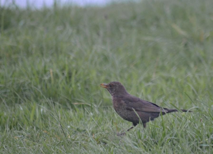 Is it a thrush or a blackbird?
