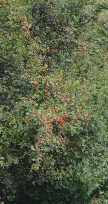 Haws glowing red
