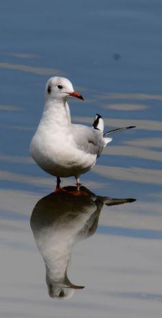 Reasonably exposed gull