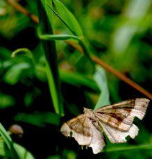 Rather tatty moth