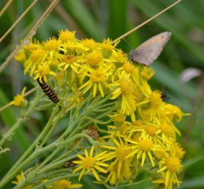 Meadow brown and cinnnabar caterpillar on ragworta