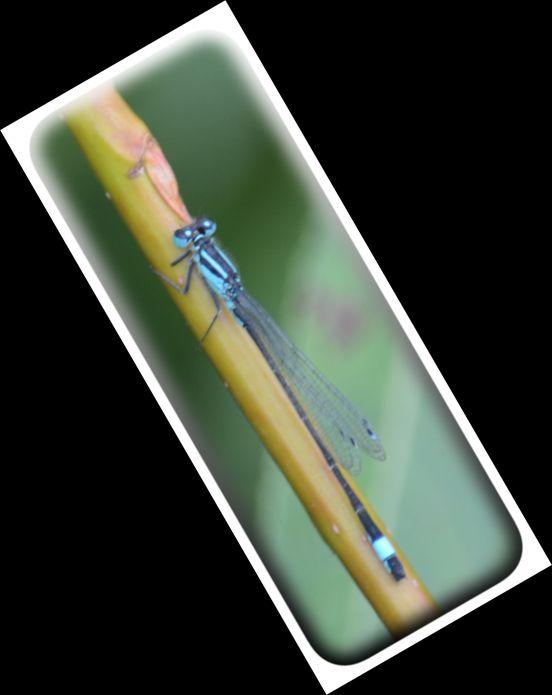 Blue tailed damselfly