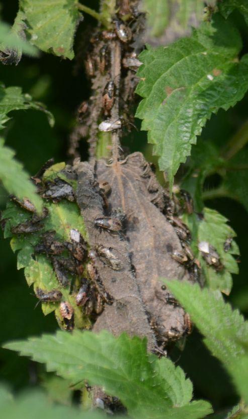 Loads o' flies on a nettle leaf