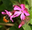 Bee on red campion