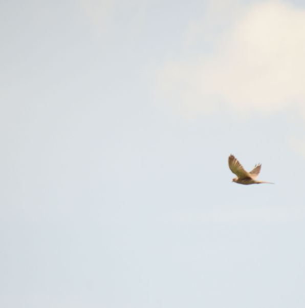 Kestrel over the pond