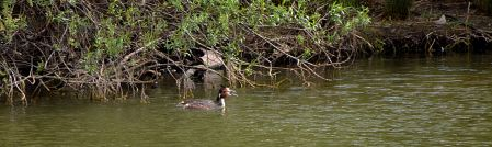 Grebes on the pond