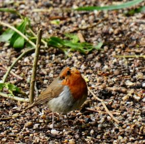 Robin on the towpath