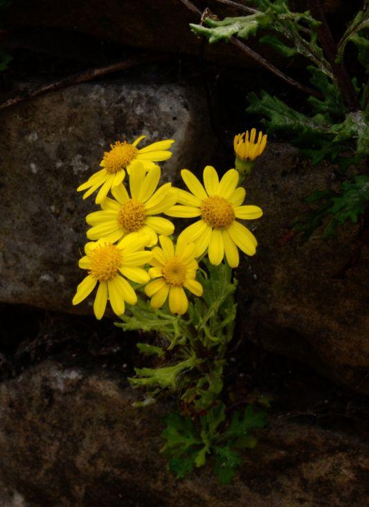 Wall - flower