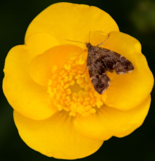 Tiny moth on buttercup