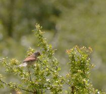 Bird - Linnet