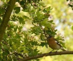 Chaffinch in hawthorn