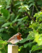 Windblown robin