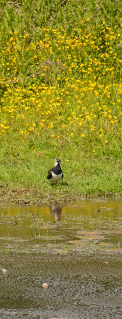 Lapwing and buttercups