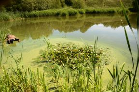15 0624 073Lily patch in blue green algae