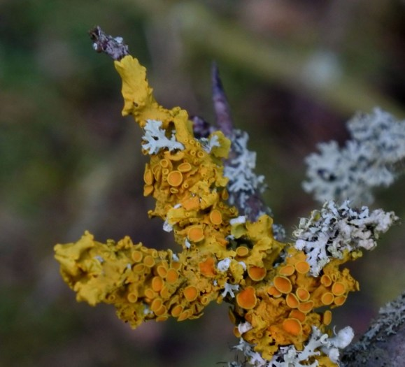 Colourful lichen