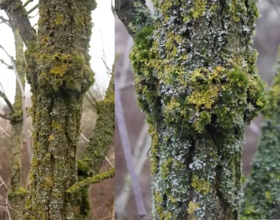 Elder with lichen