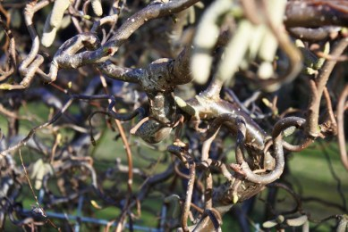 Corylus-avellana-contorta