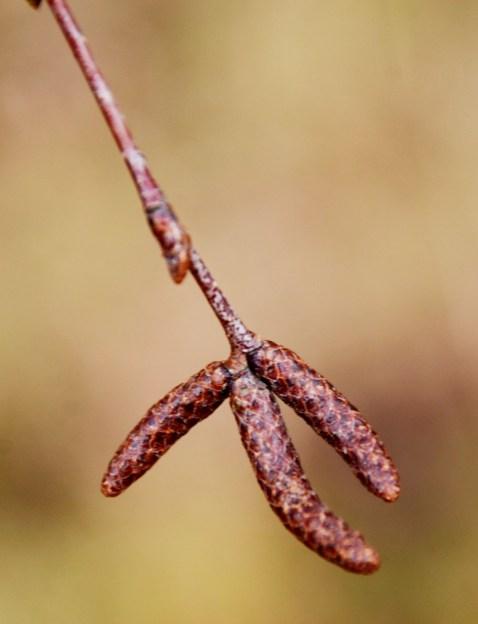Silver birch catkins
