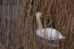 Swan among the reeds