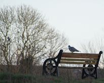 Pigeon on a bench