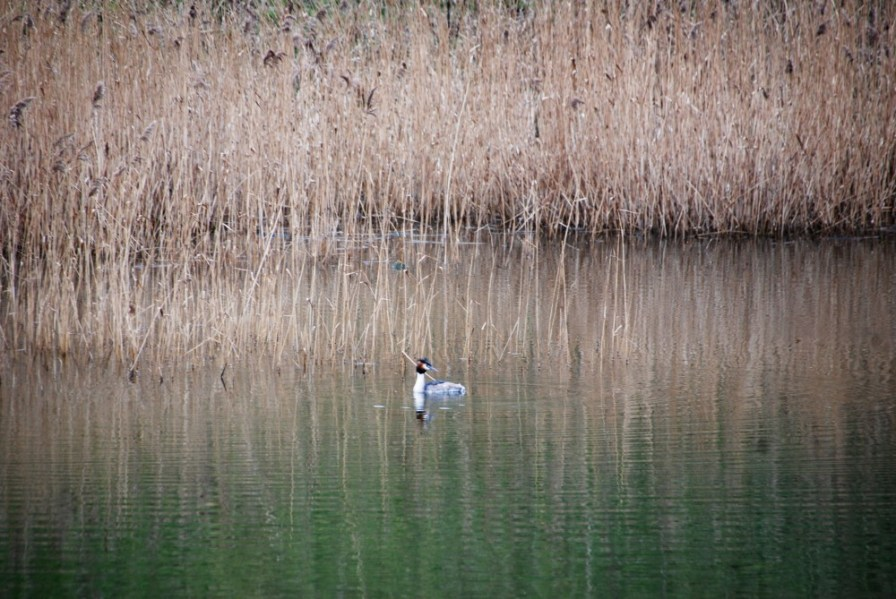 t'other grebe