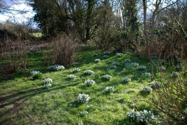 Snowdrops and daffs