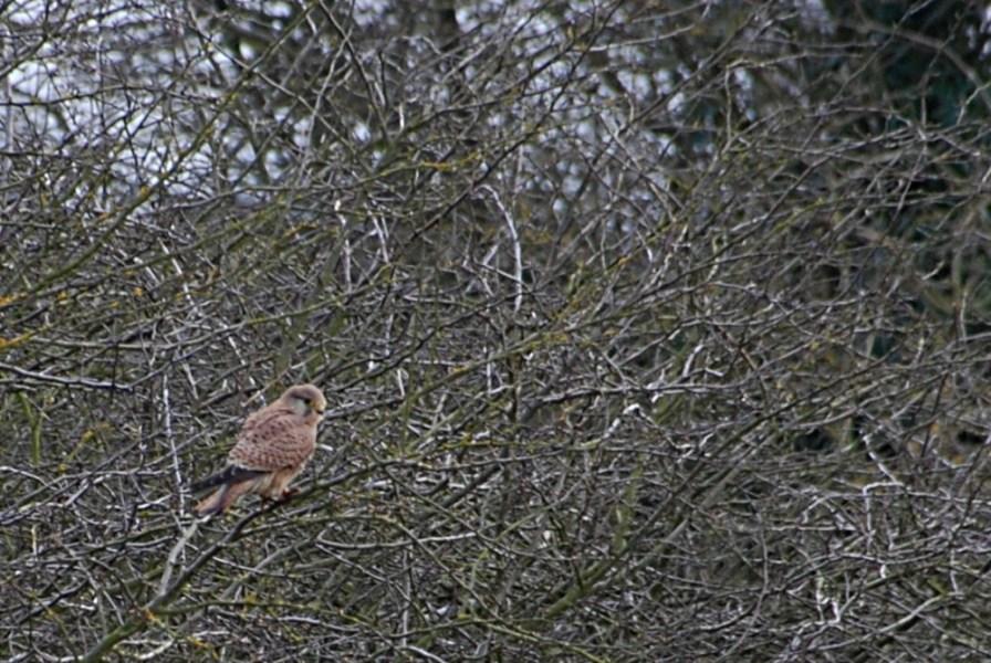 Heron in hedge