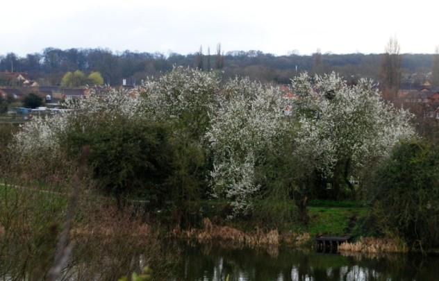 Plumb blossom across the pond