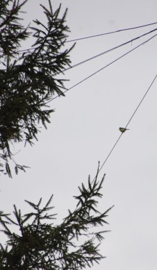 Blue tit on the wire